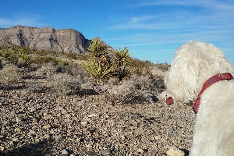 Dog In The Desert