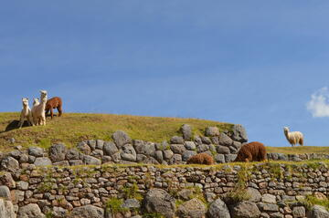alpacas graze among Inca ruins in Cusco, Peru