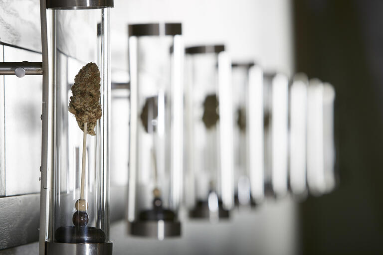 Marijuana enclosed in a glass tube and grown in a laboratory.