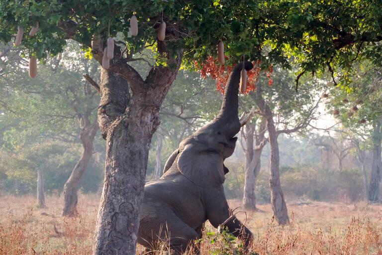 elephant reaching into tree