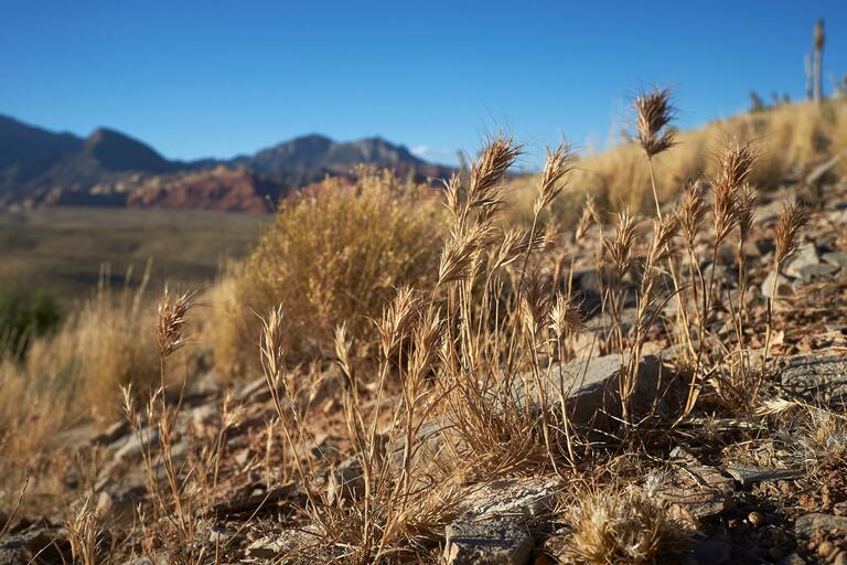 Red Brome grass, sceen in the Red Rock Canyon