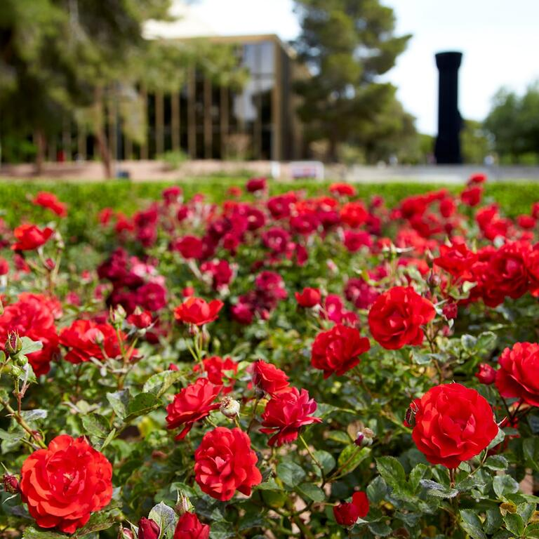 Closeup of rose garden on campus