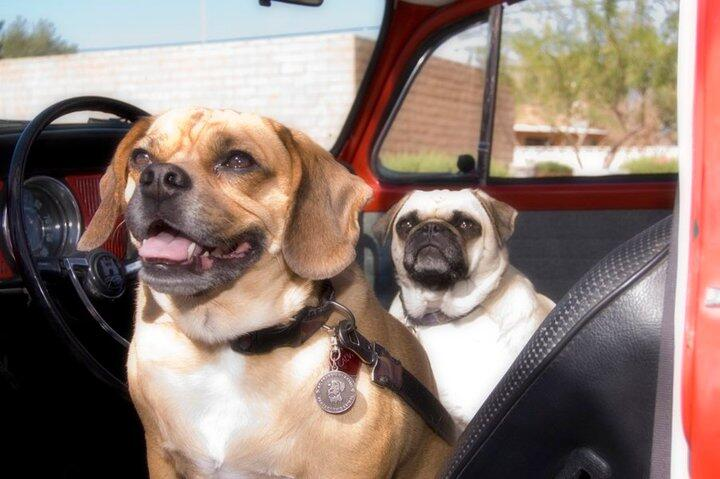 Two dogs sit inside vehicle